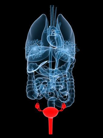 organi interni: x-ray oegans - evidenziato utero