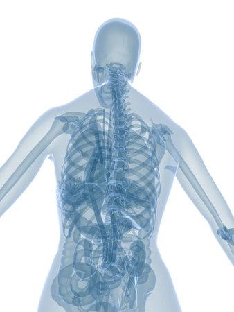 female anatomy - back side Stock Photo - 2846198