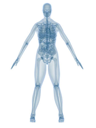 female anatomy Stock Photo - 2846122