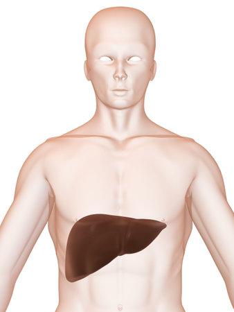 human liver Stock Photo - 2873806