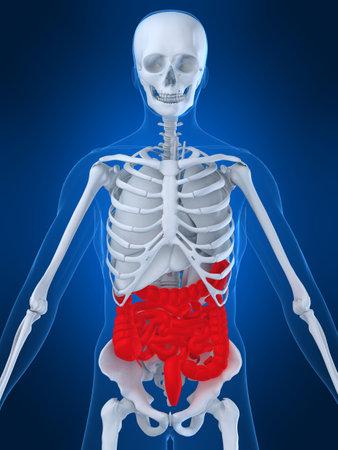 highlighted intestines Stock Photo - 2873926