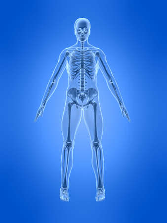 X RAY: human skeleton - front view