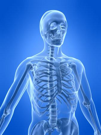 x xray: human skeleton - front view