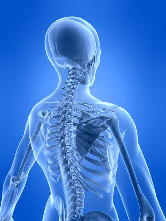 spine x ray: human skeleton - back side