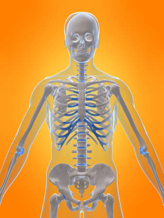 human skeleton - front view Stock Photo - 2873213