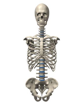 人間の骨格の胴体