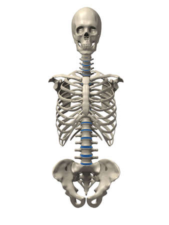 ribs: human skeletal torso