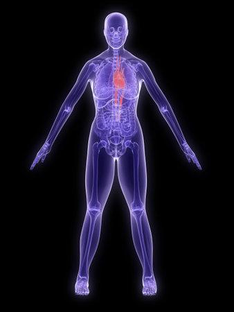 x-ray anatomy - highlighted heart Stock Photo - 2902479