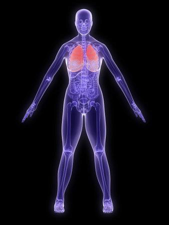 Röntgen-Anatomie - hervorgehobenen Lunge  Lizenzfreie Bilder - 2902475