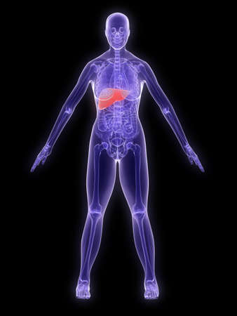 x-ray anatomy - highlighted liver Stock Photo - 2902476