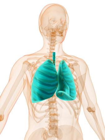 human lung photo
