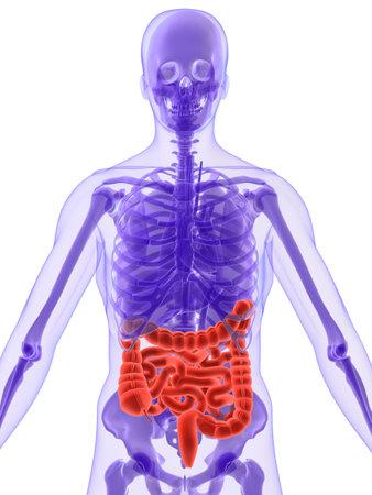 vitals: 3d anatomy - intestines Stock Photo