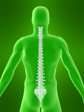 body shape: forma del corpo con la colonna vertebrale