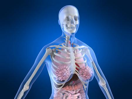 female anatomy Stock Photo - 3118288