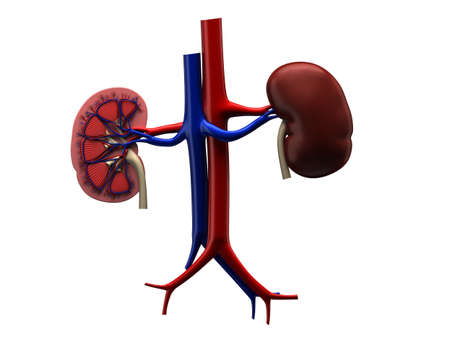 profile of a human kidney photo