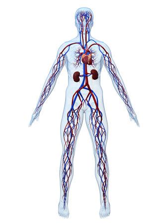 vasos sanguineos: sistema cardiovascular  Foto de archivo