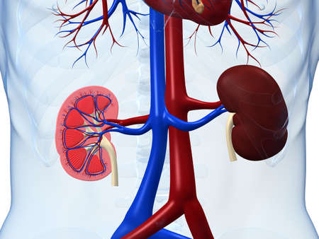 human internal organ: human kidneys