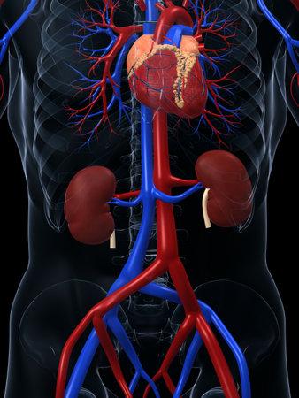 circolazione: sistema cardiovascolare Archivio Fotografico