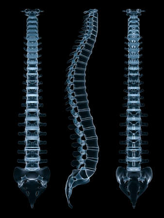 medula espinal: diferentes opiniones de una columna vertebral humana  Foto de archivo