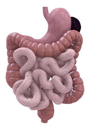 organos internos: sistema digestivo  Foto de archivo