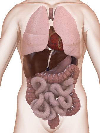 gastrointestinal: Anatom�a humana