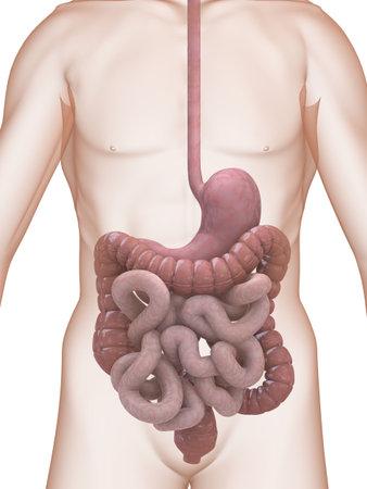 sistema digestivo: sistema digestivo  Foto de archivo