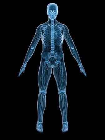 partes del cuerpo humano: sistema vascular