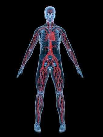 vascular system Stock Photo - 3200868
