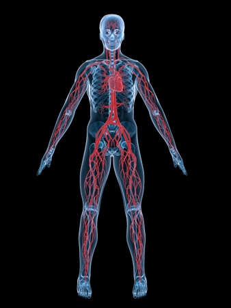 Vascular System Stock Photo, Picture And Royalty Free Image. Image ...