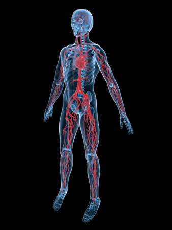 vascular system Stock Photo - 3200866