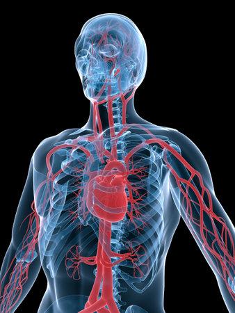 aorta: vascular system
