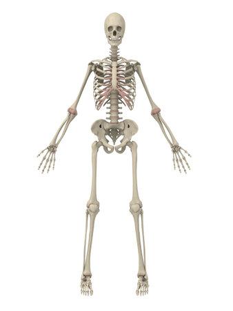 arthritis: human skeleton Stock Photo