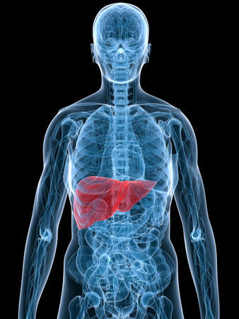 highlighted liver Stock Photo - 3226252