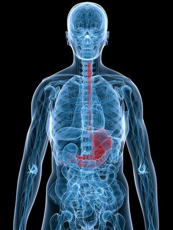 viscera: highlighted stomach Stock Photo