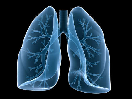 lung and bronchi Stock Photo - 3226203