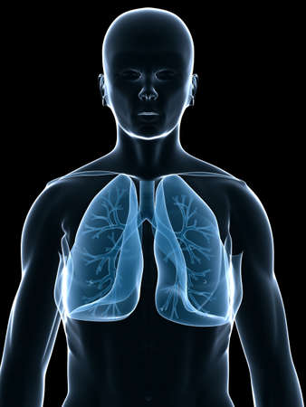 lung and bronchi Stock Photo - 3226202