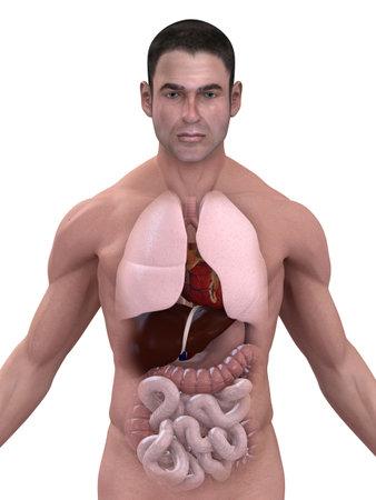 intestino: �rganos humanos  Foto de archivo
