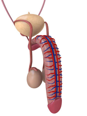 apparato riproduttore: pene anatomia umana