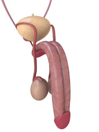 human penis anatomy Stock Photo - 3226163