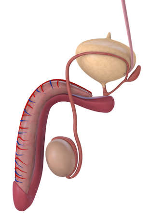 human penis anatomy Stock Photo - 3226176