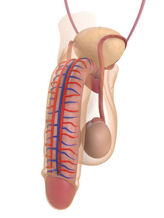 ejaculate: human penis anatomy Stock Photo