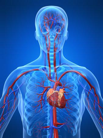 cardiovascular system Stock Photo - 3226235