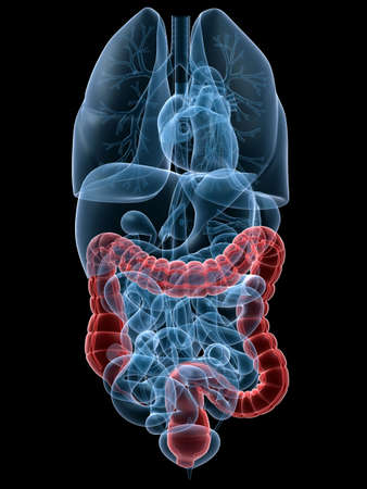 bowel: human highlighted colon