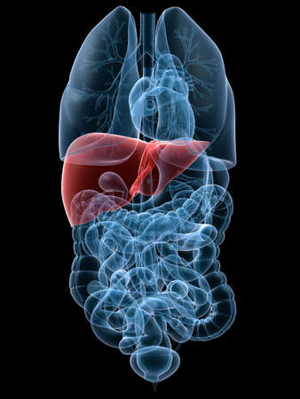 liver cancer: human highlighted liver Stock Photo