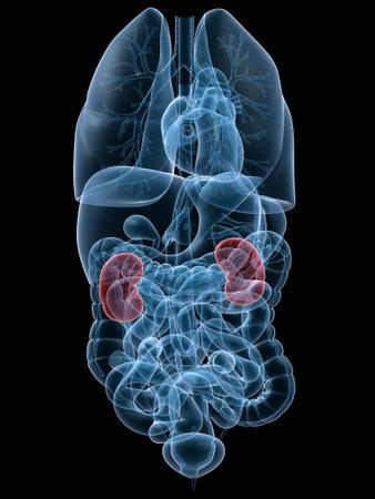 organi interni: evidenziato reni umani Archivio Fotografico