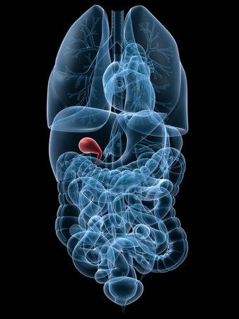 human highlighted gall bladder Stock Photo - 3241300