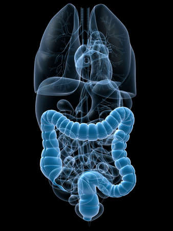 bowel: human colon