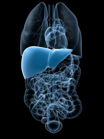 human liver photo