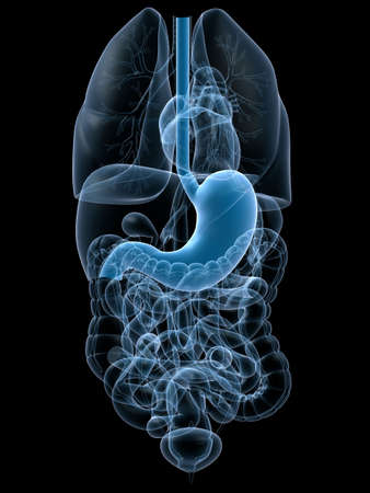 intestino: est�mago humano