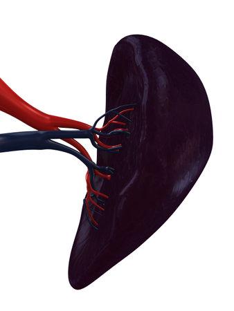 vitals: human spleen